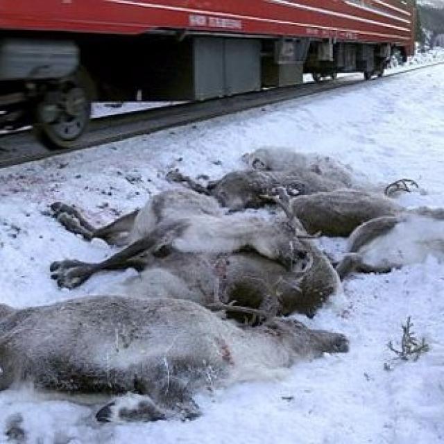挪威火車三日內撞死逾百隻馴鹿