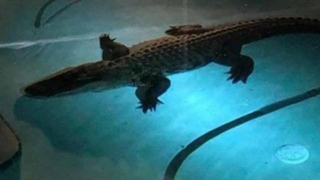 11呎巨鱷夜闖豪宅泳池游水被擒