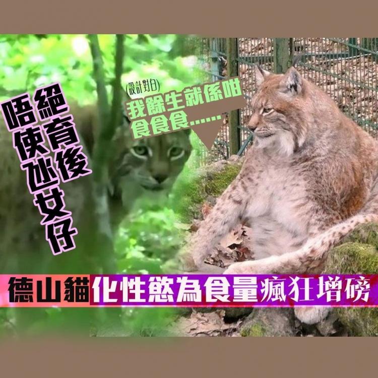 德山貓化性慾為食量瘋狂增磅