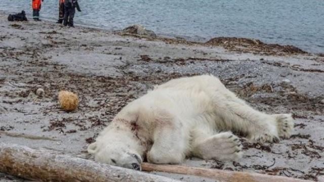 護衞員槍殺北極熊