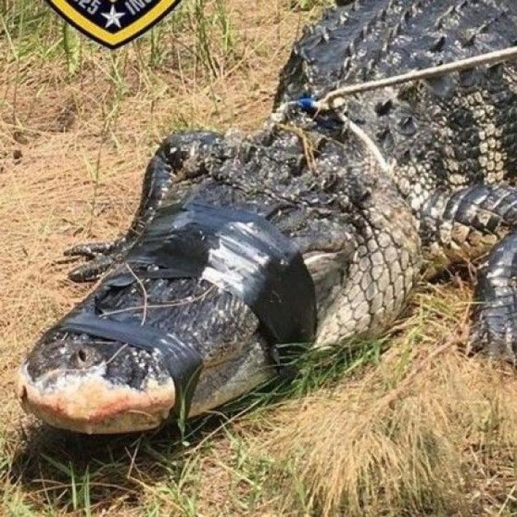 近四米巨鱷體內現人類手臂
