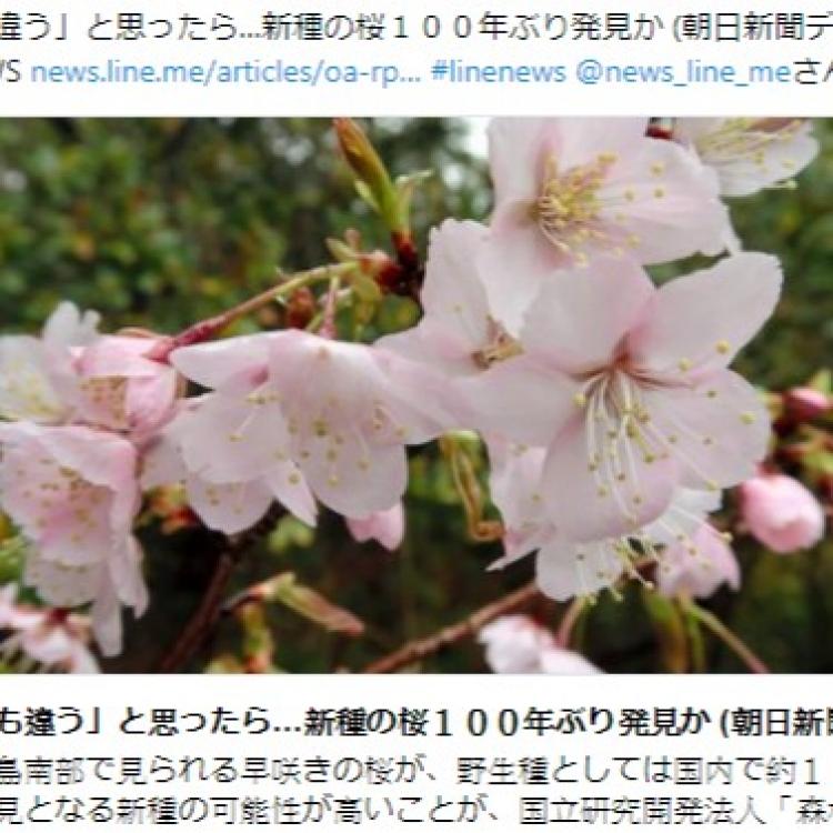 日本發現疑似新品種櫻花