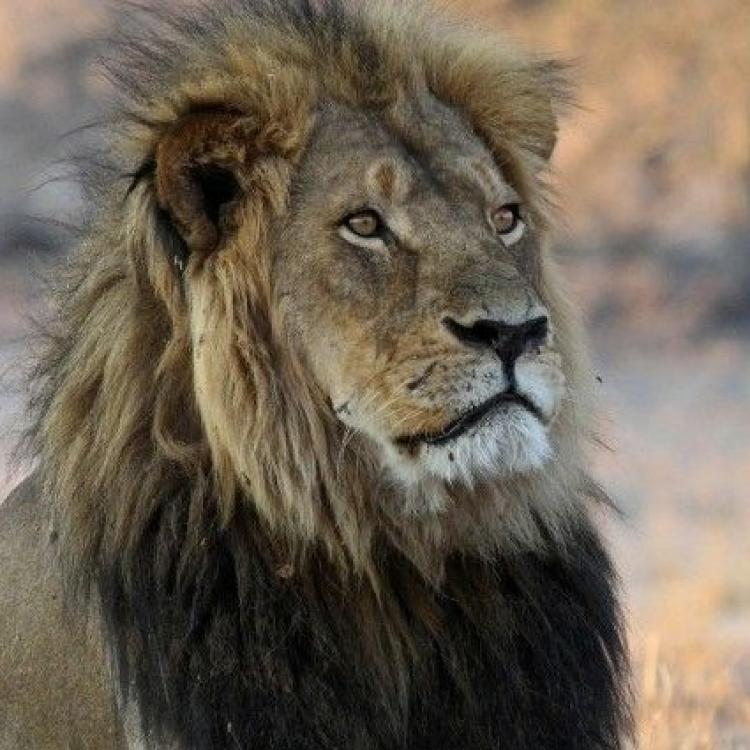有片!六旬動物園主遭雄獅咬頸拖行