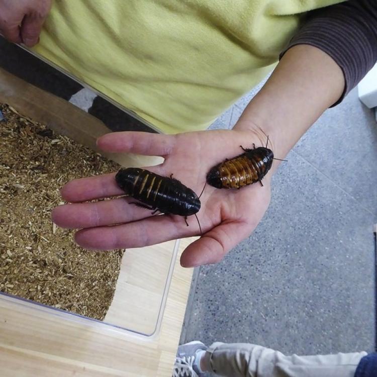 日本舉行「蟑螂展」 設偶像選舉