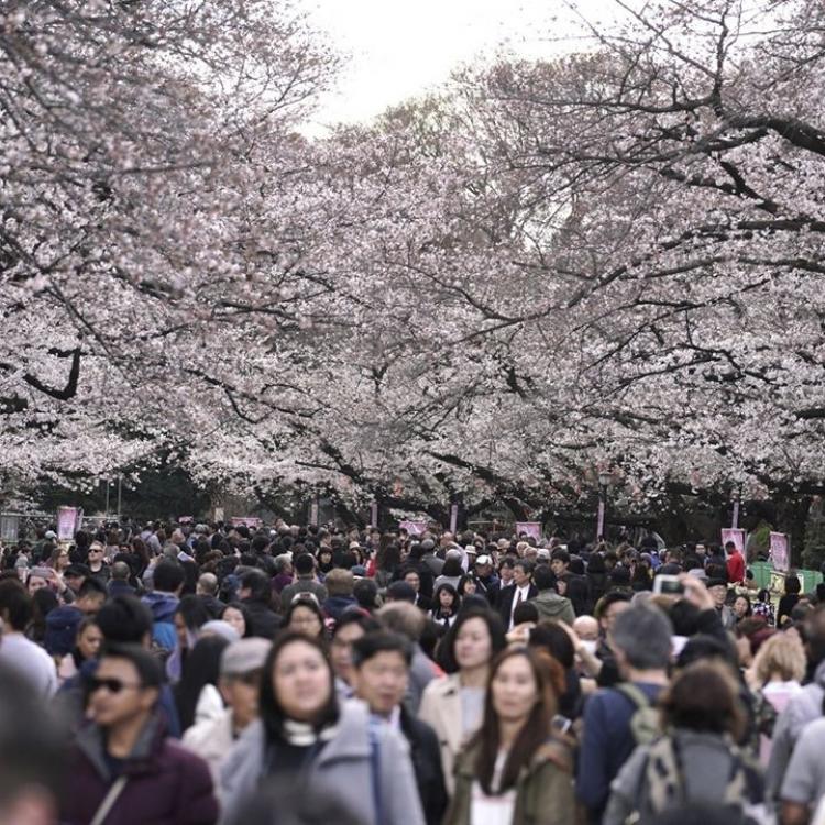 櫻花提早綻放 料下月初飄落