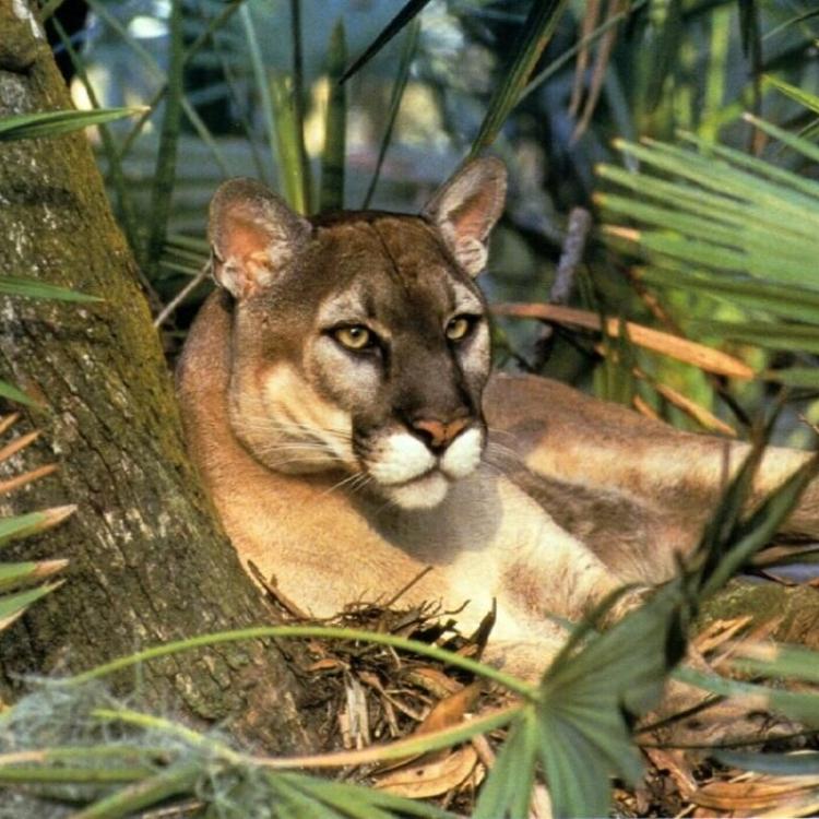 美洲獅正式宣告絕種
