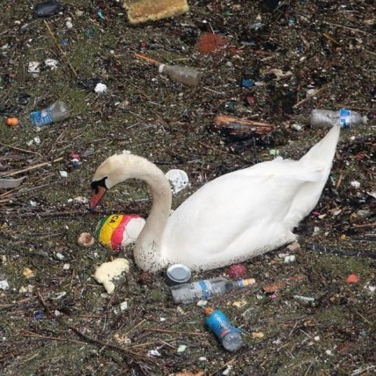 天鵝垃圾堆中掙扎覓食