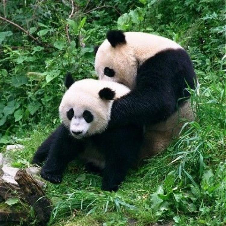 有喜?華盛頓動物園熊貓美香或懷孕