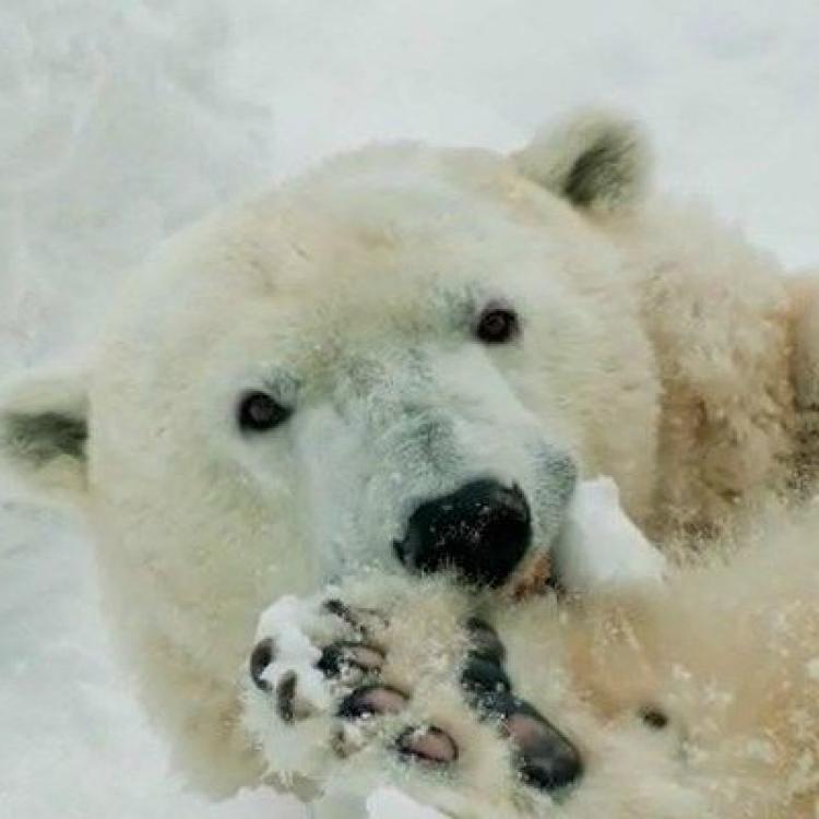 全美最老北極熊離世 終年37歲