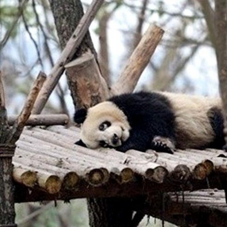 國寶病咗?川熊貓現罕見「白眼圈」