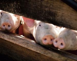 要豬豬「餓肚」來救