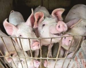 農業部料四季度豬價將創新高