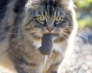 澳洲政府要殺200萬隻野貓