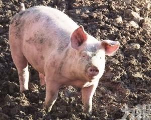 春節前豬價仍高位運行