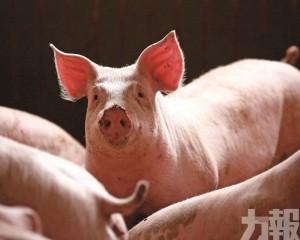非洲豬瘟 攻陷韓國