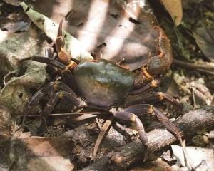 全球新種淡水蟹─「澳門南海溪蟹」