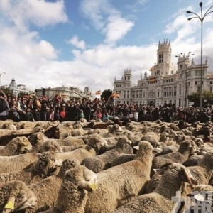 2,000隻羊逛大街