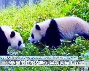 三隻大熊貓將於江西放歸