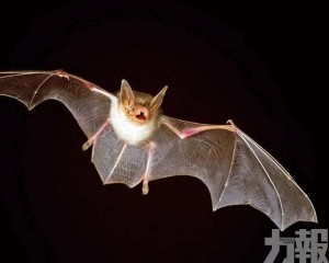 蝙蝠體內冠狀病毒或直接傳人