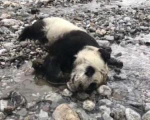 心痛!川半歲熊貓遇暴雨溺亡