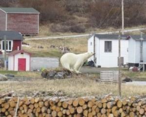 18年來首次 加國男遭北極熊襲擊身亡