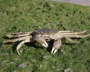 入侵物種?華人在西班牙售大閘蟹被查