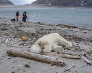 有片!挪威島北極熊襲擊保安員慘遭擊斃