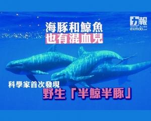 科學家首次發現野生「半鯨半豚」