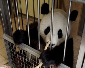 維也納大熊貓陽陽揮毫作畫