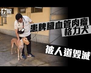 患脾臟血管肉瘤格力犬被人道毀滅