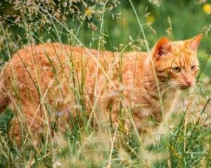 紐西蘭小鎮擬推行「禁貓令」