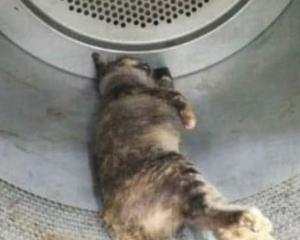 馬國懷孕母貓被監生烘死