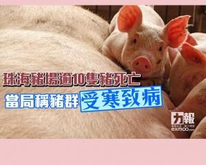當局稱豬群受寒致病