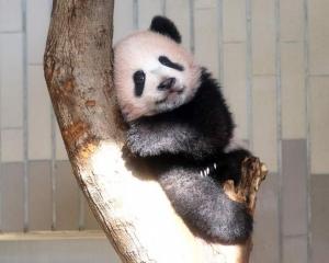 有意再租借大熊貓
