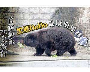 黑熊「BoBo」健康明顯轉差