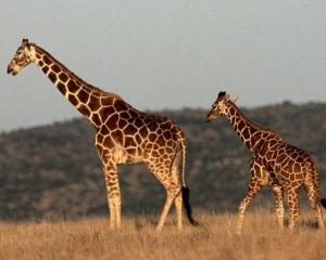 非洲長頸鹿首度列「極危」