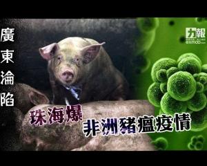廣東淪陷 珠海爆非洲豬瘟疫情
