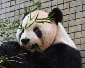 【全球首例】內地贈台大熊貓「團團」裝牙套