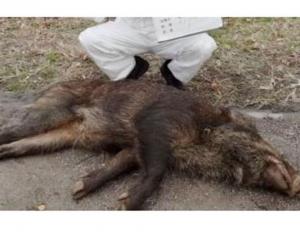 愛知縣80隻野豬受感染