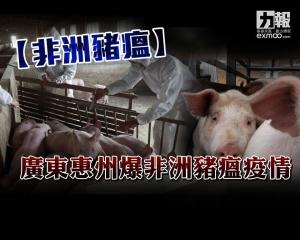 廣東惠州爆非洲豬瘟疫情