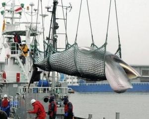 日本今宣布退出國際捕鯨委員會