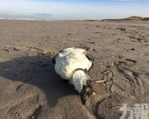 荷蘭逾2萬隻崖海鴉離奇死亡沖上岸
