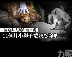 14個月小獅子遭殘忍除爪