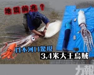 地震前兆?日本河口驚現3.4米大王烏賊
