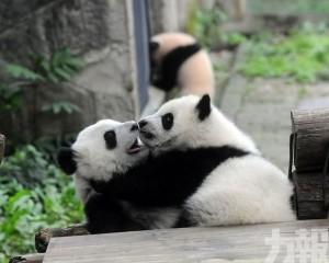 台媒:高雄證實大陸將贈送一對大熊貓