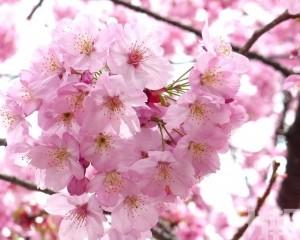 日本氣象廳宣布東京櫻花已開