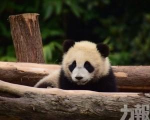 華贈大熊貓「如意」「丁丁」下周赴俄