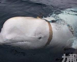 挪威海岸發現懷疑俄羅斯軍事用白鯨