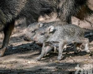 兩隻稀有草原西貒捷克動物園出世