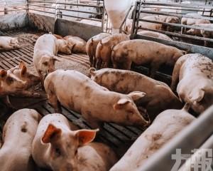 至今撲殺170萬隻豬
